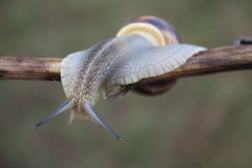 Snail crawling on a branch close-up