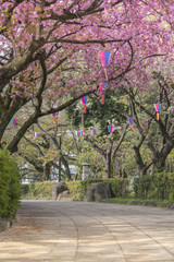 Beautiful hanami party with the pink cherry blossom of Asukayama park in the Kita district of Tokyo, Japan.