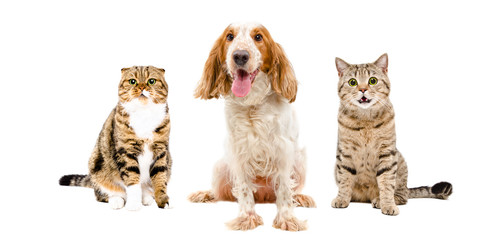Russian Spaniel and two cats sitting together, isolated on white background