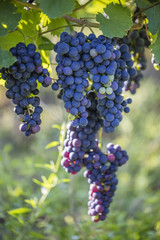 fresh blue grapes in vineyard