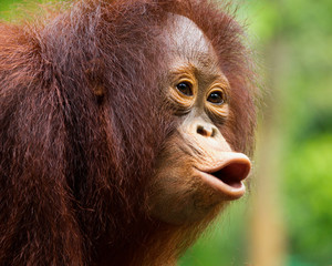 Young orangutan was screaming in wild nature.