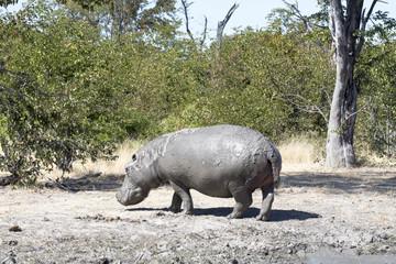 Hippopotamus male, Hippopotamus amphibius covered with mud Moremi National Park, Botswana