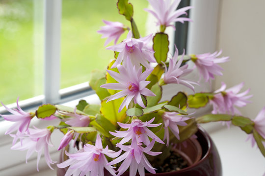 Easter Cactus growing in a plant pot  by a window Easter Cactus growing in a plant pot  by a window Easter Cactus growing in a plant pot  by a window