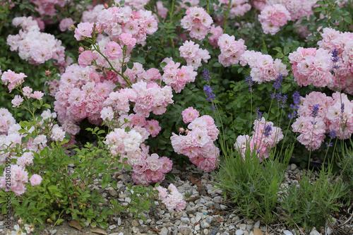 Bodendecker Rosen Oder Kleinstrauch Rosen In Blute Stock Photo And
