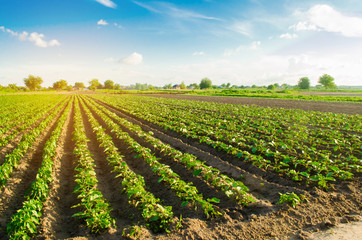 young eggplants grow in the field. vegetable rows. Agriculture, farming. farmlands. Landscape with agricultural land