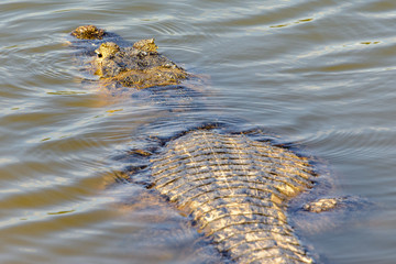 Caiman submerged in Pantanal waters, Mato Grosso do Sul, Brazil