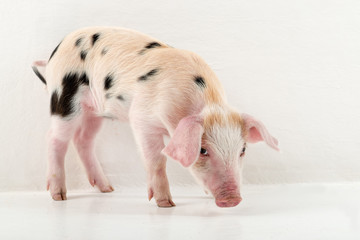 Charming black and white piglet posing in studio. Pig's snout close-up. Copy space. Isolated on white background