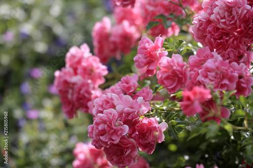 Bodendecker Rosen In Blute Stock Photo And Royalty Free Images On