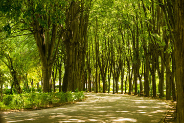 Empty park alley surrounded linden lime trees at Olimpia park in Ploiesti, Romania.