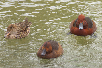 View of three brown ferruginous ducks swimming on the water level