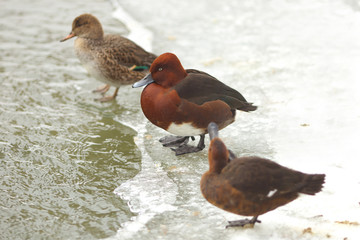 View of three brown ferruginous ducks on the bank of a frosted pond