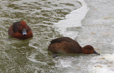 View of two brown ferruginous ducks trying to get to the ice