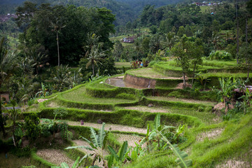 Bali rice terraces. Rice fields of Jatiluwih. The graphic lines and verdant green fields. Some of the fields are hundreds of years old.