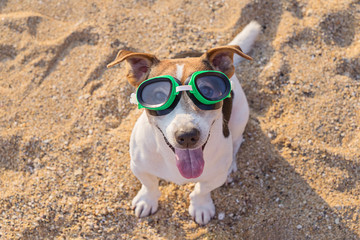 Adorable jack russell terrier dog with big blue flippers having fun on the beach. Concept of fun pastime with dog in the summertime