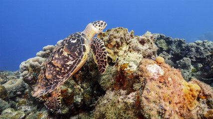 Hawksbill Sea Turtle swim in coral reef in the Caribbean Sea at scuba dive around Curacao /Netherlands Antilles