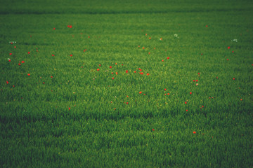 green fields with red flowers green wheat and poppy