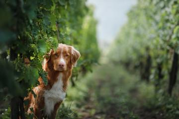 dog in a vineyard in nature. A pet in the summer, Nova Scotia Duck Tolling Retriever