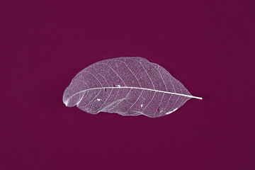 Transparent skeleton blue leaf with beautiful texture on red  background