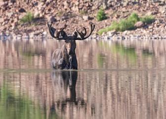 Shiras Moose of The Colorado Rocky Mountains. Bull Moose in Lake