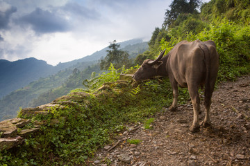 Water buffalo grazing along the trail in the Annapurna Himalaya.