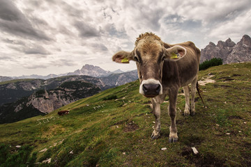Alpine cow in a medow in Italy