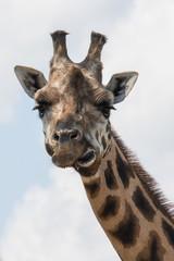 giraffe lips funny face