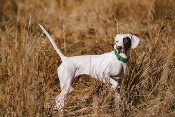 A white pointer puppy in a field at a southern hunting plantation. Fotoväggar
