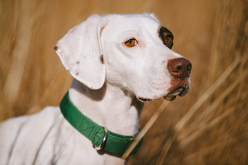 A white pointer puppy in a field at a southern hunting plantation.