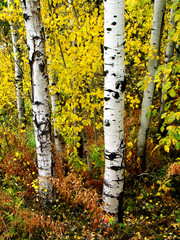 Fall Birch Trees with Autumn Leaves in Background