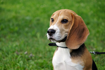 Beautiful tri-color Beagle puppy English. Sitting on the green grass. Beagle is a breed of small hounds.