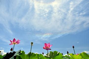 蓮の花とハロと環水平アーク
