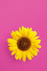Single sunflower petal isolated on a pink background viewed from above. Top view. Copy space