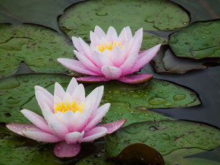 Two beautiful water lilies in a swamp. Rain drops on the petals of the lotuses. Garden flowers close-up