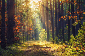 Poster Foret Autumn forest landscape. Colorful foliage on trees and grass shining on sunbeams. Amazing woodland. Scenery fall. Beautiful sunrays in morning forest