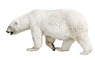 walking polar bear on white