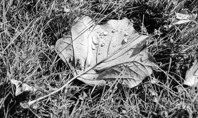 Hydrophobic effect. Faded maple leaf on the grass with water droplets. After rain in the park background. Black and white.