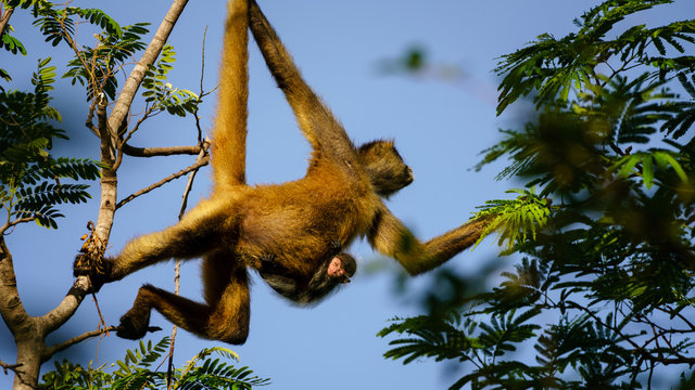 geoffroy's spider monkey (ateles geoffroyi) with baby swinging through trees in Costa Rica