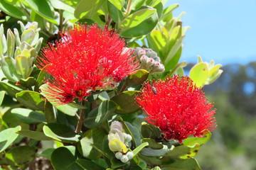 Metrosideros polymorpha, red flower on a evergreen tree in Hawai'i Volcanoes National Park, Big Island, Hawaii