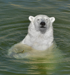 Portrait of young polar bear in water. Finnish Lapland. Summer