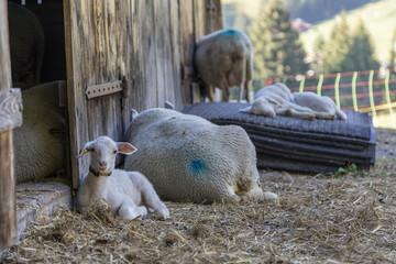 Lamm vor Schafstall