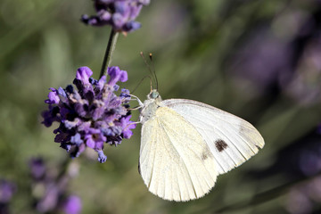 small cabbage white (Pieris rapae) on lavender
