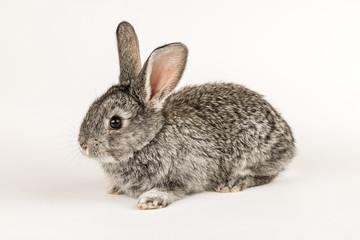 Little grey rabbit on a white background