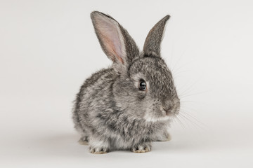 Little grey rabbit on a white background