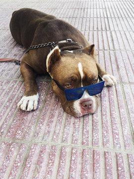 Pitbull wearing sunglasses