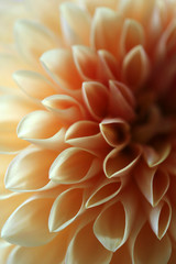 Close Up Of A Pale Orange Dahlia Flower
