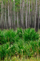 Saw palmetto and slash pine, St. Joseph Bay State Buffer Preserve, Port St. Joe, Florida