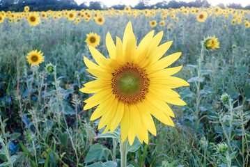 Sunflower field at Woodoaks Farm, Rickmansworth