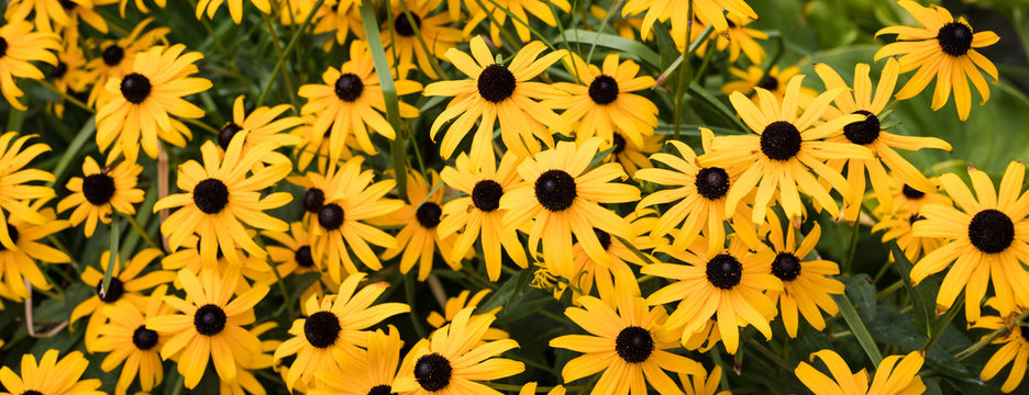 Yellow rudbeckia flowers
