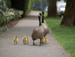 A family of Canadian geese walking the streets of Vancouver