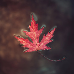 "Beatiful red marple leaf with raindrops on it floats on the surface of the water. Concept ""Autumn has come"". Selective focus."